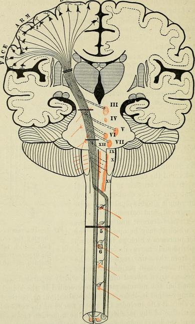 Brain illustration from The Principles and Practice of Medicine...' by W Osler, 1904, public domain via Wikimedia Commons