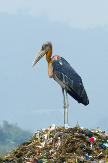 Greater Adjutant (Leptoptilos dubius) on a garbage dump in Guwahati, Assam in March 2007, by Yathin sk, Public Domain via Wikimedia Commons