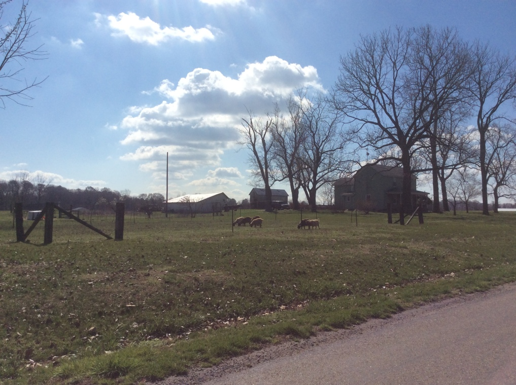 Sheep at a farm on Lewiston Rd en route to Tapper's Corner