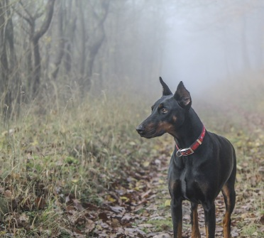 Black doberman in the mist (cropped), photo credit patstatic, Creative Commons CC0 Public Domain