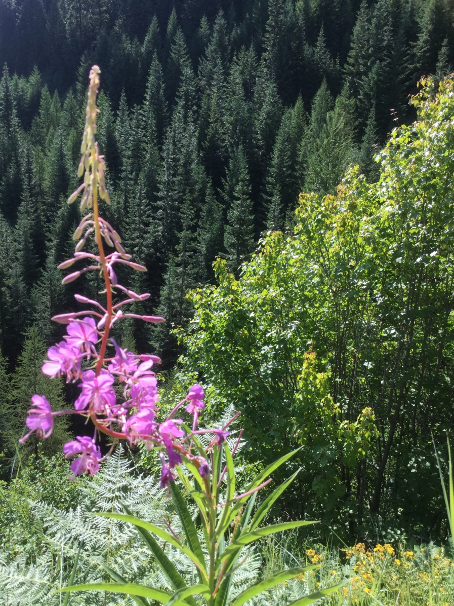 A cone of purple wildflowers echoes the shape of the trees on Wendover Ridge, Bitterroot Mountains, ID, 2017 Amy Cools