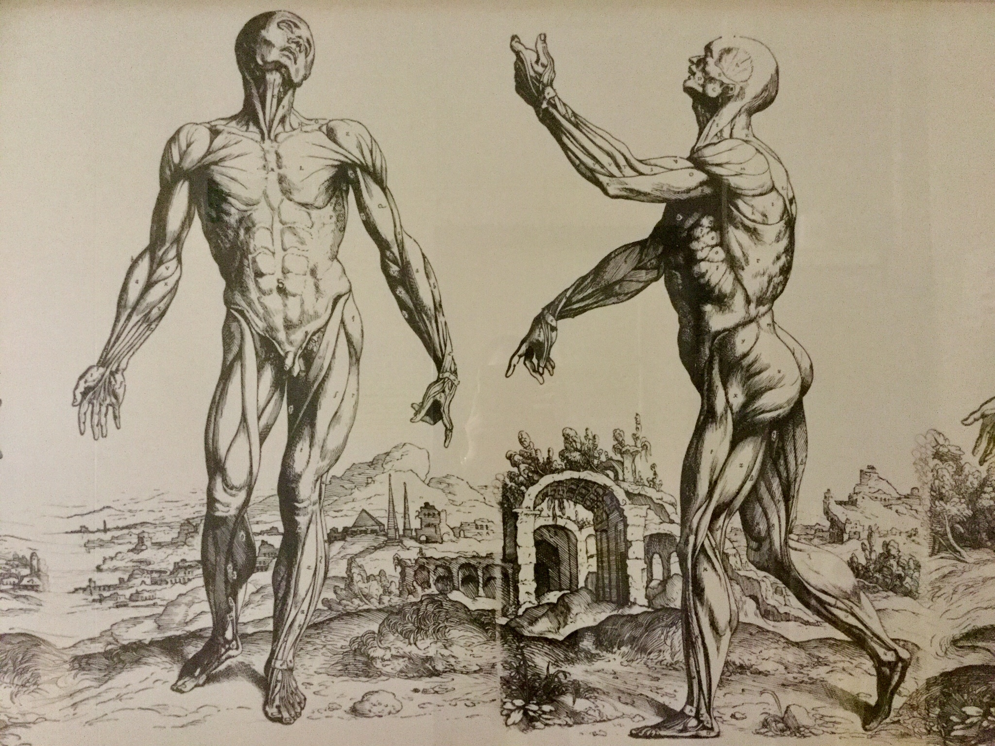Detail of an illustration repoduced from De Humani Corporis... by Andreas Vesalius, 1543, Anatomical Museum collection, Old Medical School, University of Edinburgh, 2018 Amy Cools